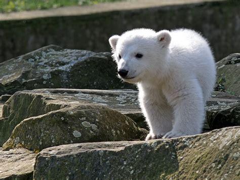 baby polar desktop wallpapers free download
