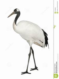 Young Red-crowned Crane, Grus Japonensis Stock Image ...
