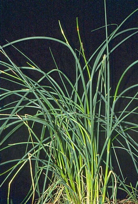 garlic wild allium vineale pacific northwest pest