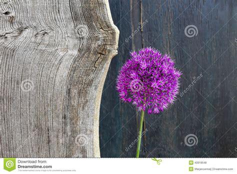 allium ornamental onion violet showy flower head  elm