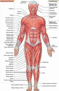 Muscle Anatomy - Skeletal Muscles - Groin Muscles