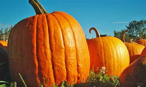 pumpkin st pumpkin patches in st augustine 2016