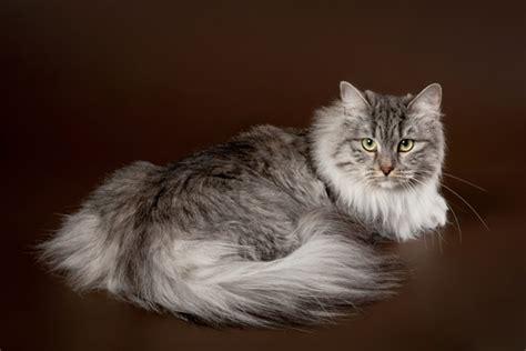 siberian cat hair shedding siberian cat siberian cat pet insurance cat breed info