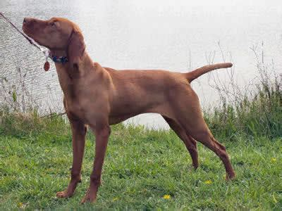 Do Vizsla Dogs Shed by How Bad Do Vizslas Shed Top 7 Breeds For