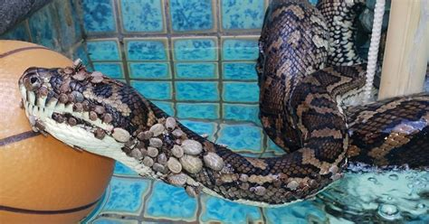 rescuers baffled   find python  pool covered