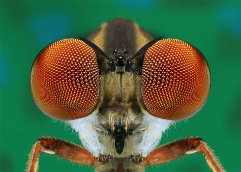 winner robber fly eyes close  corel discovery center