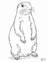 Prairie Dog Coloring Pages Drawing Standing Printable sketch template
