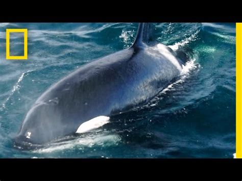 killer whales exxon valdez spill nearly decimated this pod part 2 national geographic