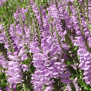 Physostegia virginiana (Obedient Plant) Wildflower Seed