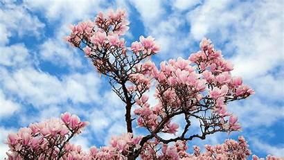 Magnolia Tree Flowers Sky Blossom Flower Under