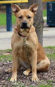 German Shepherd Pitbull Mix – breed info, characteristics ...