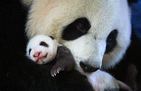 Its A Girl Malaysia Welcomes Another Panda Cub Clean