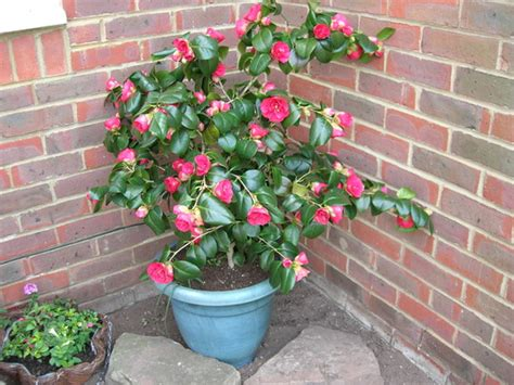 potted camellia grows on you