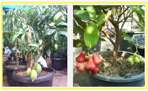 buah cocok tanaman pot tanaman bunga hias