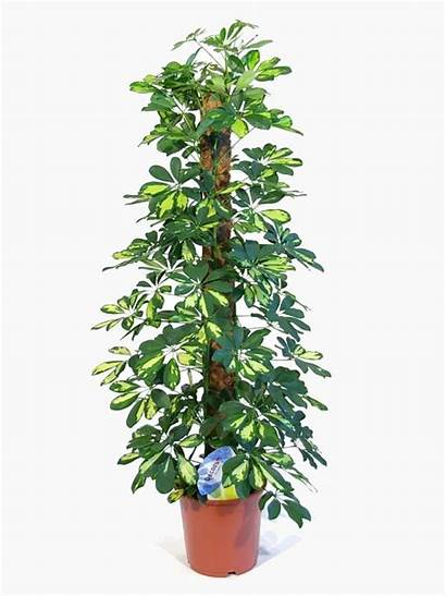 Plants Artificial Tall Indoor Schefflera Garden Fake