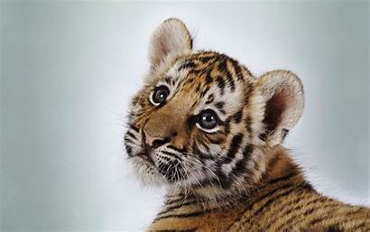 Tiger Cute Cub Wallpapers Baby Tigers Adorable