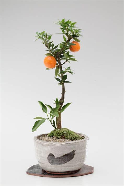 Small Bonsai Of Mandarin Orange Tree 姫ミカン Bonsai