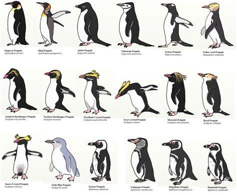 Penguins Different Types Species