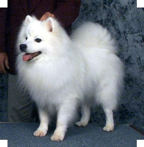 miniature american eskimo dog breeds and photos and videos