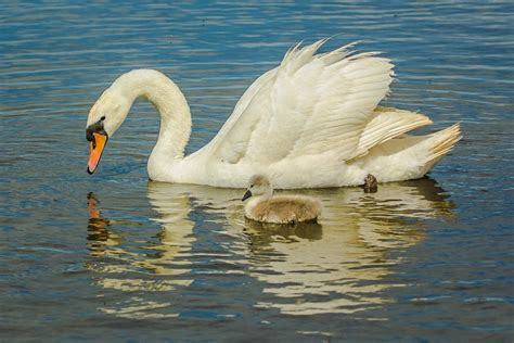 swans water birds  photo  pixabay