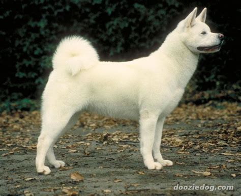 Do American Akitas Shed by Akita Breed Pictures And Photos Breeds Picture