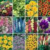 Cottage Garden Plants: Amazon.co.uk cottage garden plant list