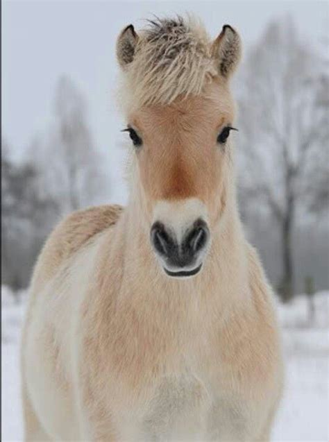 Fjord Pony by Norwegian Fjord Horse Things I Love Pinterest Look
