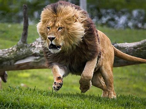 Lauvas, Lauvas, Lauviņas :) - Spoki