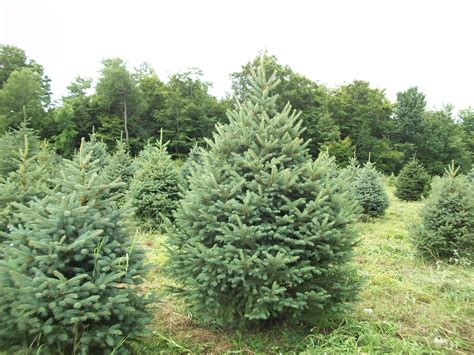 28 best meyer christmas tree farm all about tradition