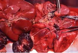 Heartworm Preventive Medication     Cats   Heartworm Disease Treatment      Heartworm Adult