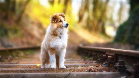 wallpaper shetland sheepdog puppy cute animals