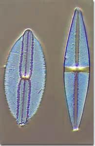 Diatoms Silica Cell Wall