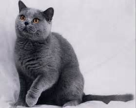 russian blue cat pictures pet advice ideas guides 187 archive 187 how to care of