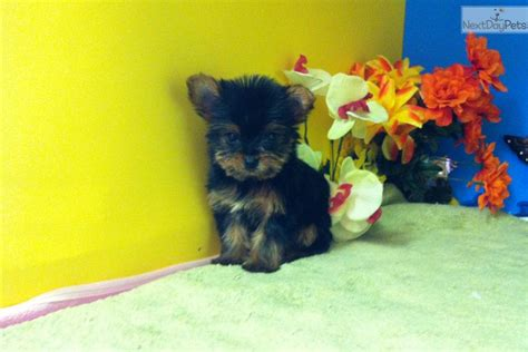 do teacup morkies shed terrier yorkie puppy for sale near chicago