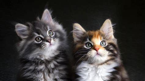 cats hd wallpaper wallpaper studio  tens