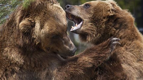 animals bears grizzly wallpaper