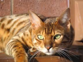bengal cat images bengal cat facts bengal cat world