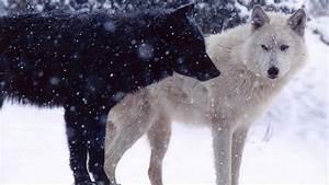 Black Wolf In Snow Wallpapers - GzsiHai.com