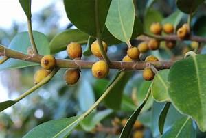 Comment Tailler Un Ficus : ficus planter et tailler ooreka ~ Melissatoandfro.com Idées de Décoration