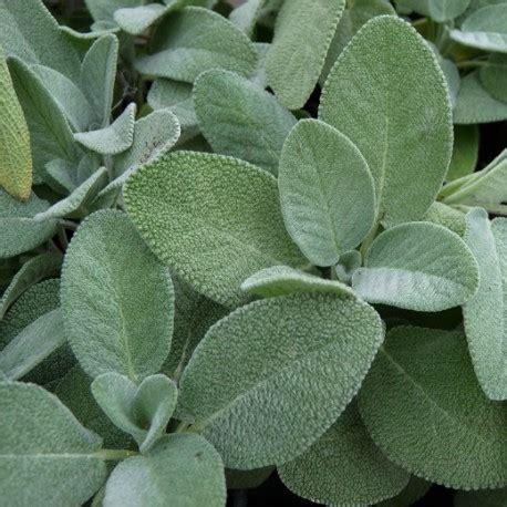recettes de cuisine sur 3 sauge officinale à feuilles larges salvia officinalis