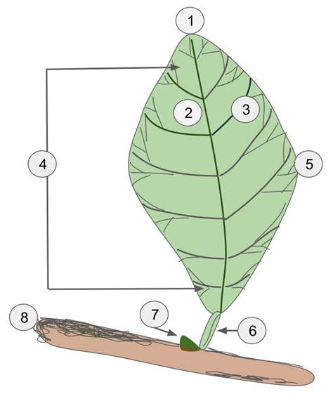 Leaf Part Diagram by File Leaf Diagram Svg Wikimedia Commons
