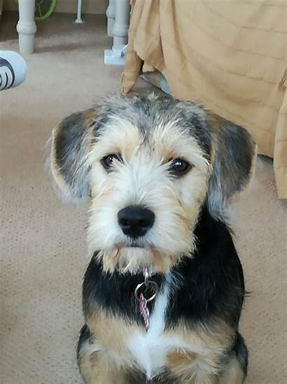 Schnauzer Miniature Beagle Breeds Puppies Breed Carmarthen
