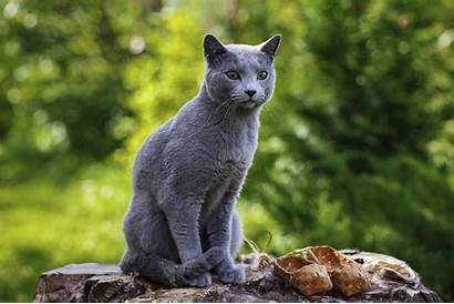 Cat Breeds Most Affectionate Cats Russian Breed