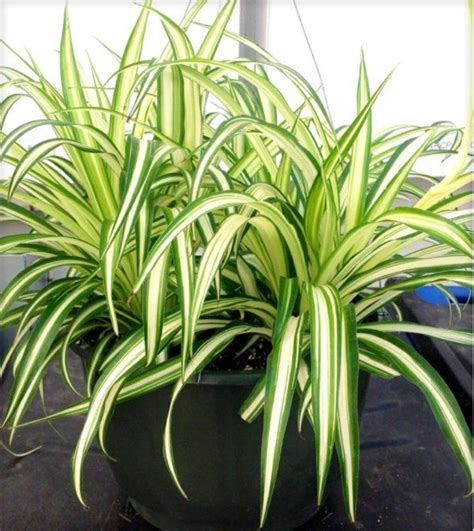 Pflanzen Für Wohnung by Welche Zimmerpflanzen Brauchen Wenig Licht Garten