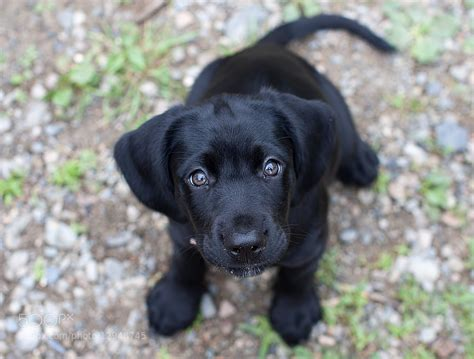 Black Lab Puppy Dog Eyes