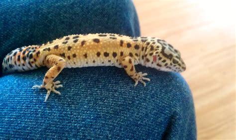 gecko lizard lizards images my leopard gecko hd wallpaper and background photos 34240003