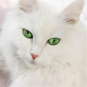 White Cat - Cats Photo (32314612) - Fanpop
