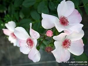 Sweet Pretty Rose : sweet pretty beetrose kaufen bei agel rosen ~ A.2002-acura-tl-radio.info Haus und Dekorationen