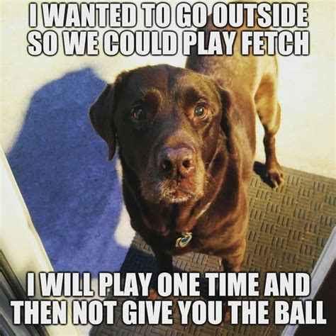 Labrador Meme - 28 best funny labrador dog images on pinterest funny labradors labrador dogs and labradors