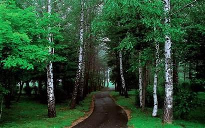 Road Tree Trees Lined Pathway Narrow Grass